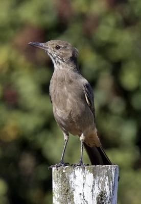 b2ap3_thumbnail_Great-Shrike-Tyrant-Posada-del-Parque-JJC-800.jpg