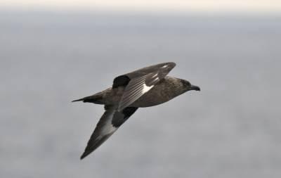 b2ap3_thumbnail_Great-Skua-off-Shetland-290718-1000-JJC.jpg