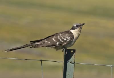 b2ap3_thumbnail_Great-spotted-Cuckoo-1280--Extremadura-JJC-May-2018.jpg