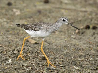 b2ap3_thumbnail_Greater-Yellowlegs-800-Tobago-JJC.jpg