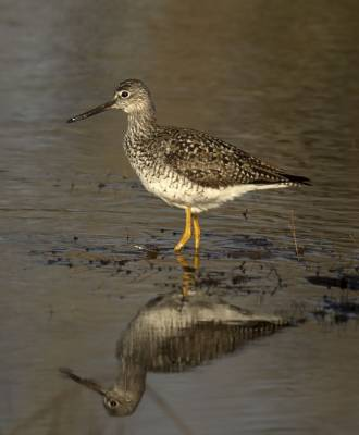 b2ap3_thumbnail_Greater-Yellowlegs-Gaspe-240519-1000-JJC.jpg
