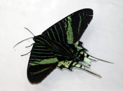 b2ap3_thumbnail_Green-Banded-Urania-moth-Braemar-800-JJC.jpg