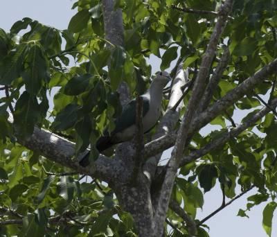 b2ap3_thumbnail_Green-Imperial-Pigeon-Komodo-Island-Jan-2020-1280-JJC.jpg