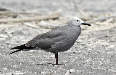 b2ap3_thumbnail_Grey-Gull-summer-plumage-2-Arica-1280-JJC.jpg