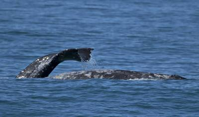 b2ap3_thumbnail_Grey-Whale-Tale-and-torso-San-Diego-190219-800-JJC.jpg