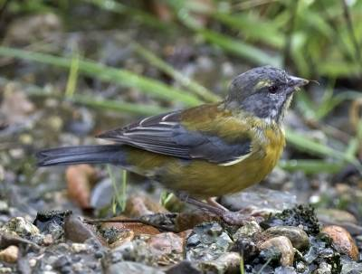b2ap3_thumbnail_Grey-hooded-Sierra-finch---Chacabuco-JJC-800.jpg