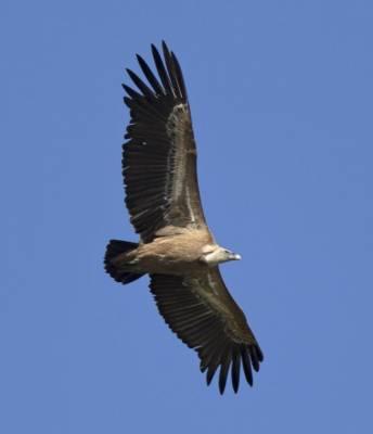 b2ap3_thumbnail_Griffon-Vulture-2-Extremadura-May-2018-1000-JJC.jpg