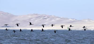 b2ap3_thumbnail_Guaney-Cormorants-against-the-desert-at-Paracas-250217-JJC.jpg