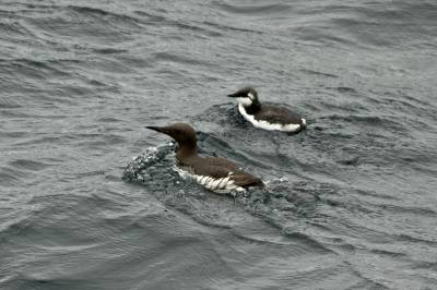 b2ap3_thumbnail_Guillemot-male-and-chick-Sea-of-the-Hebrides-110718-1280-JJC.jpg