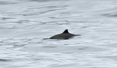 b2ap3_thumbnail_Harbour-Porpoise-North-Sea-off-Norway-May-2017.jpg