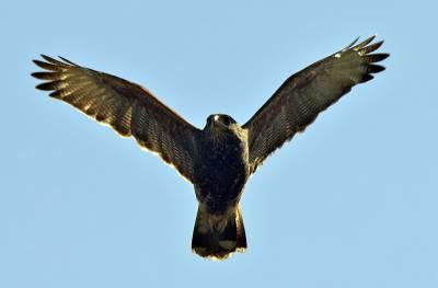 b2ap3_thumbnail_Harris-Hawk-2-Posada-del-Parque-800-JJC.jpg