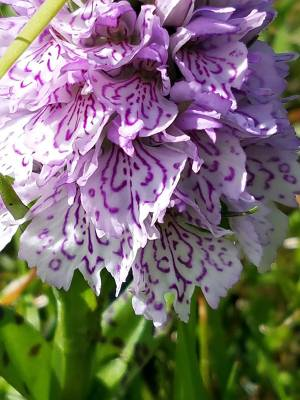 b2ap3_thumbnail_Heath-spotted-Orchid-Clare-Gower-Torshaven.jpg