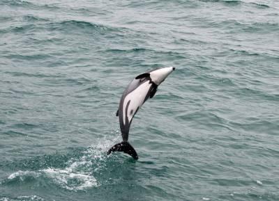 b2ap3_thumbnail_Hectors-Dolphin-Akaroa-2012-copyright-Jeff-Clarke.jpg
