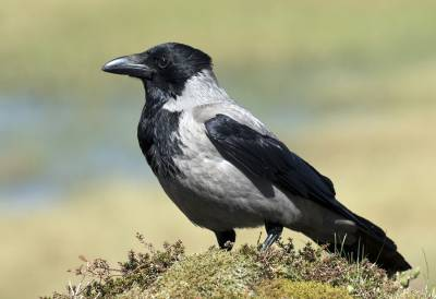 b2ap3_thumbnail_Hooded-Crow-Ulriken-Mountain-Bergen-JJC.jpg