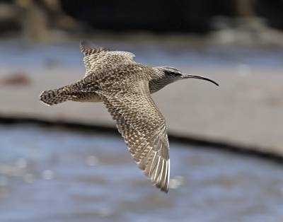 b2ap3_thumbnail_Hudsonian-Whimbrel-in-flight-Coquimbo-JJC-800.jpg