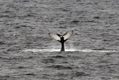 b2ap3_thumbnail_Humpback-tail-of-Bear-Island-040718-800-JJC.jpg