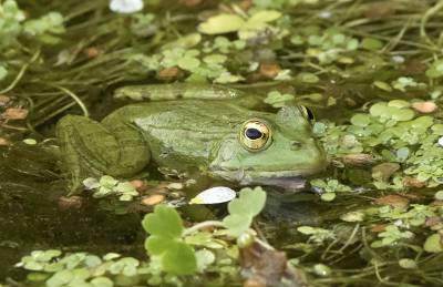 b2ap3_thumbnail_Iberian-Water-Frog-Monfrague-May-2018-800-JJC.jpg