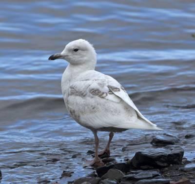 b2ap3_thumbnail_Iceland-Gull-Barentsburg-1000-060718-JJC.jpg