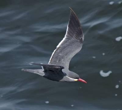 b2ap3_thumbnail_Inca-Tern-flight-Paracas-250217-JJC.jpg