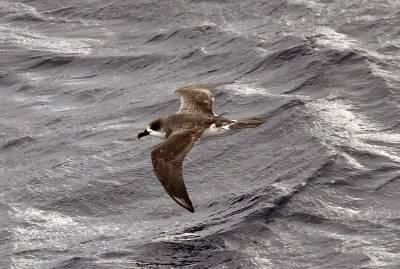 b2ap3_thumbnail_Juan-Fernandez-Petrel-at-Sea-nr-Chiloe-Island-JJC-800.jpg
