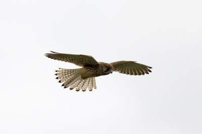 b2ap3_thumbnail_Kestrel-Farlington-Marshes.jpg