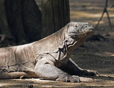 b2ap3_thumbnail_Komodo-Dragon-2-1280-120318-male-JJC.jpg