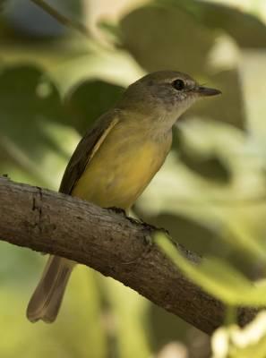 b2ap3_thumbnail_Lemon-bellied-Flycatcher-Darwin-1000-090318-JJC.jpg