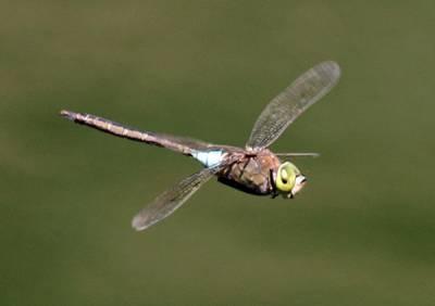 b2ap3_thumbnail_Lesser-Emperor-Dragonfly-Funchal-280915-JJC-600.jpg