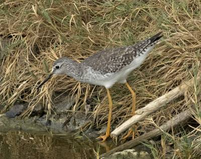 b2ap3_thumbnail_Lesser-Yellowlegs-Boniare-800-JJC-020219.jpg