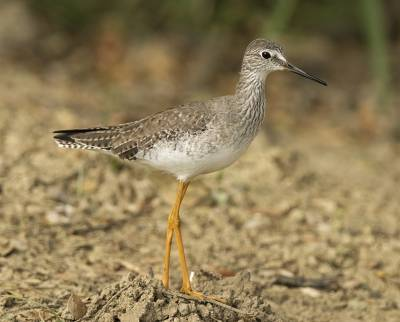 b2ap3_thumbnail_Lesser-Yellowlegs-Tobago-800-JJC.jpg