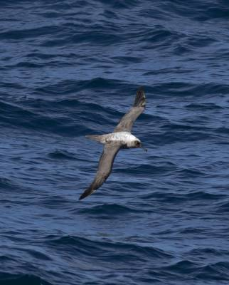 b2ap3_thumbnail_Light-mantles-Sooty-Albatross-1000-near-Cape-Horn-20220-JJC-1.jpg