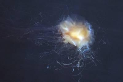 b2ap3_thumbnail_Lions-Mane-Jellyfish-Trollsfjord-010718-1000-JJC.jpg