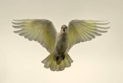 b2ap3_thumbnail_Little-Corella-in-flihgt-Brisbane-1000-020318-JJC.jpg