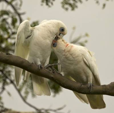 b2ap3_thumbnail_Little-Corella-pair-affection-Brisbane-020318-1000-JJC.jpg