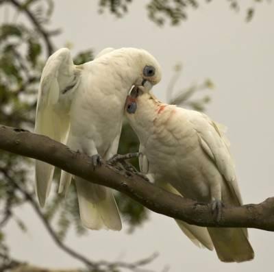 b2ap3_thumbnail_Little-Corella-pair-affection-Brisbane-020318-1000-JJC.jpg