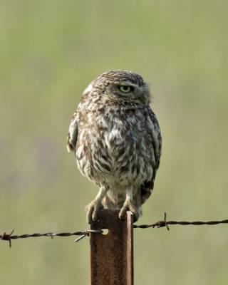 b2ap3_thumbnail_Little-Owl-1000-Extremadura-May-2018-JJC.jpg