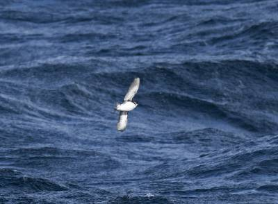 b2ap3_thumbnail_Magallanic-Diving-Petrel-Magellan-Strait-230220-1280-JJC.jpg