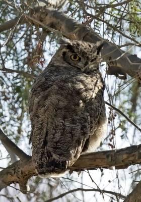 b2ap3_thumbnail_Magellanic-Horned-Owl-Arica-1000-JJC.jpg