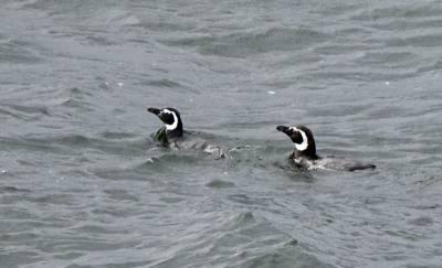 b2ap3_thumbnail_Magellanic-Penguins-2-800-nr-Laguna-San-Rafael-JJC.jpg