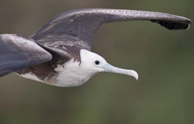 b2ap3_thumbnail_Magnificent-Frigatebird-juv-800-Panama-Canal-060219-JJC.jpg