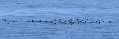 b2ap3_thumbnail_Manx-Shearwater-Raft-near-Isle-of-Man-1280-270619.jpg