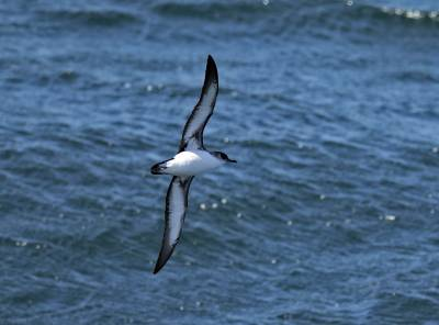 b2ap3_thumbnail_Manx-Shearwater-north-of-Cape-Horn-2102020-1280-JJC.jpg