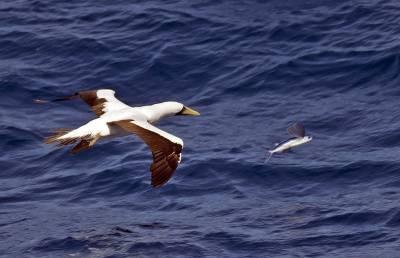b2ap3_thumbnail_Masked-Booby-chasing-flying-fish-caribbean-sea-020219-800-JJC.jpg