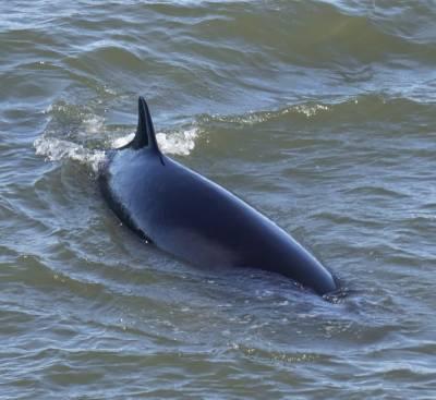 b2ap3_thumbnail_Minke-Whale-Gulf-of-St.-Lawrence-230519-1000-JJC.jpg