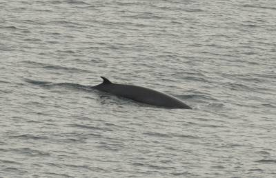 b2ap3_thumbnail_Minke-Whale-The-Minch-110718-800-JJC.jpg