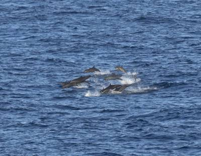 b2ap3_thumbnail_Mixed-pod-Spinner-and-Pan-tropical-spotted-Dolphins-Banda-Sea-Jan-2020-1280-JJC.jpg