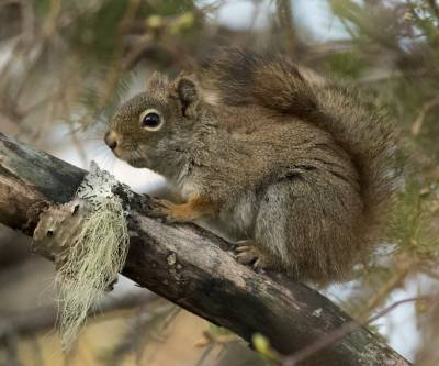 b2ap3_thumbnail_North-American-Red-Squirrel-Gaspe-240519-1000-JJC.jpg