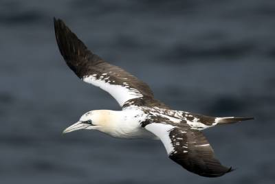 b2ap3_thumbnail_Northenr-Gannet-probable-3rd-summer-off-Faroes-090718-1280-JJC.jpg