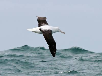 b2ap3_thumbnail_Northern-Royal-Albatross-copyright-Jeff-Clarke.jpg
