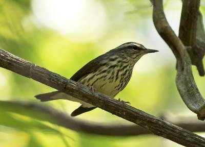 b2ap3_thumbnail_Northern-Waterthrush-Carara-Reserve-080219-JJC-800.jpg